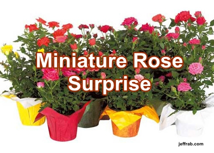 Miniature Rose Surprise